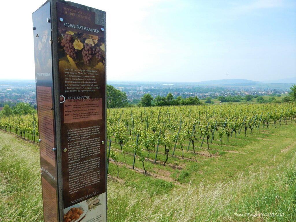 Sentier viticole à Molsheim