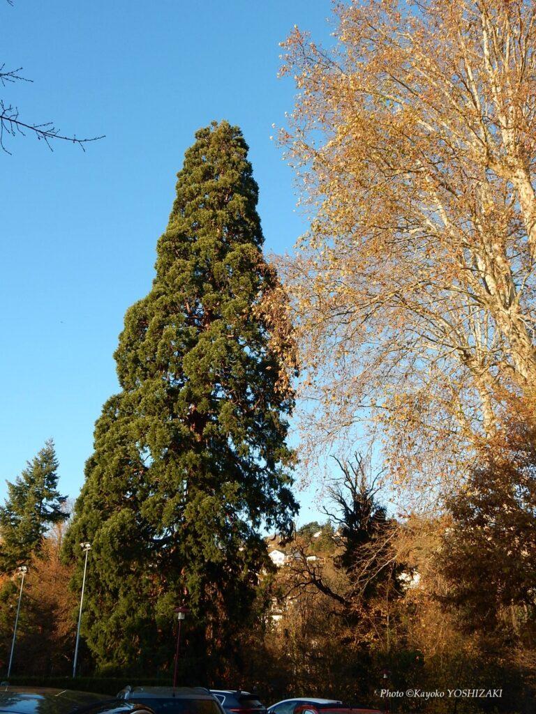 Séquoia géant à Obernai