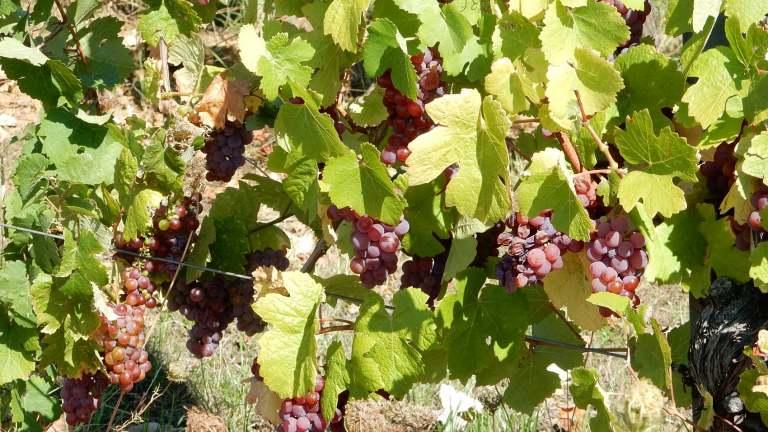 raisins-vigne